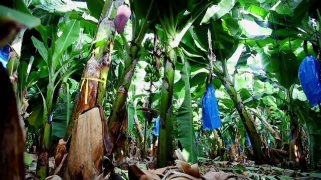 banana plantation. burgeon on the tree - banana stock videos and b-roll footage