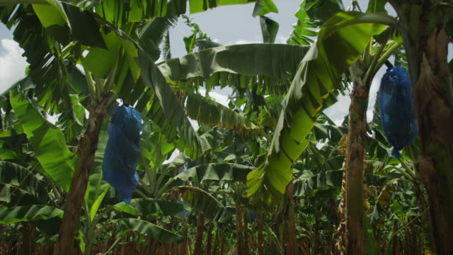 ws la pan banana plantation / castries, st. lucius, caribbean - st lucia stock videos & royalty-free footage