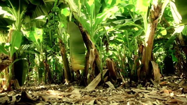 banana plantation - banana stock videos and b-roll footage
