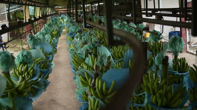 banana production line and packaging process in milagro, guayas, ecuador, on wednesday, may 13, 2020. - banana stock videos & royalty-free footage
