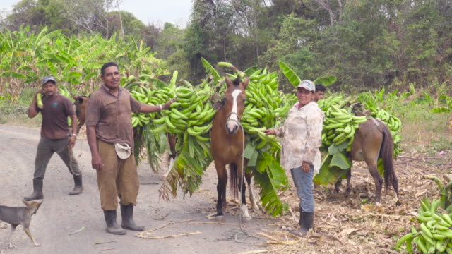 Banana rich harvest in Nicaragua, Latin America. Farmers use a farm horse as a pack animal. They carry lots of this tropical fruit.