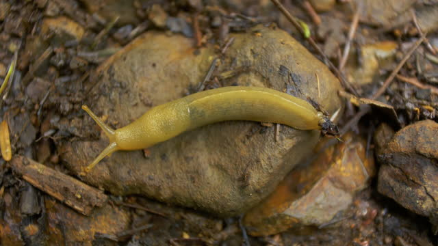banana slug on the move - oregon us state stock videos & royalty-free footage