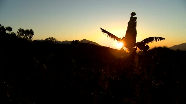 banana tree at sunset (guatemala) - guatemala stock videos & royalty-free footage