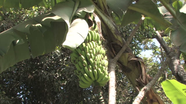 banana tree - tropical tree stock videos & royalty-free footage