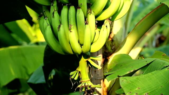 バナナの木 - バナナ点の映像素材/bロール
