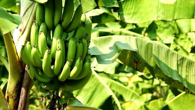 banana tree - banana stock videos & royalty-free footage