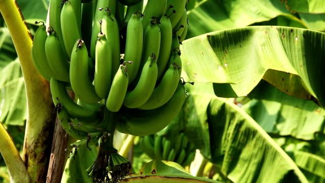 banana tree - tropical tree stock videos & royalty-free footage