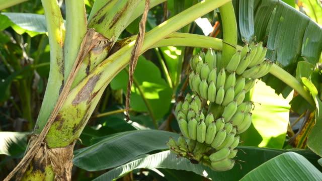 vídeos de stock, filmes e b-roll de bananeira - banana de são tomé