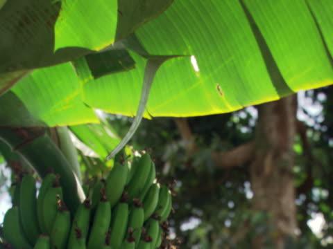 vídeos y material grabado en eventos de stock de banana tree - artbeats