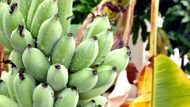 Banana tree with bunch of growing ripe bananas