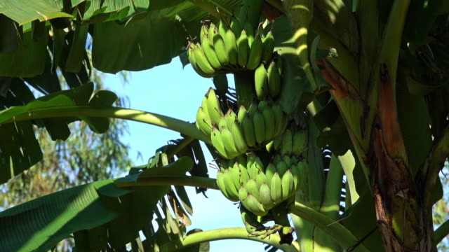 banana tree with fruits - banana stock videos & royalty-free footage