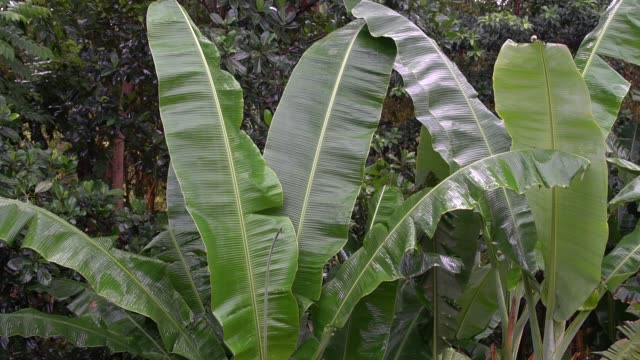 banana trees growing at the backyard - tropical tree stock videos & royalty-free footage