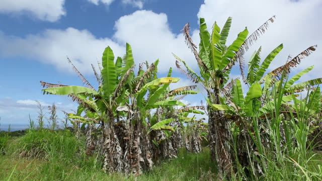 vidéos et rushes de ms banana trees waving by wind and cloud moving over tree near pacific ocean / hilo, big island,hawaii, united states - bananier