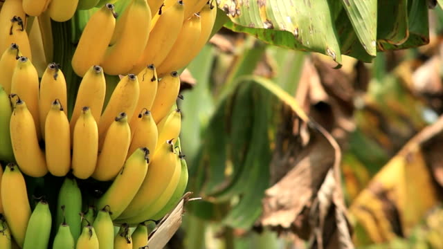 banana - banana stock videos & royalty-free footage