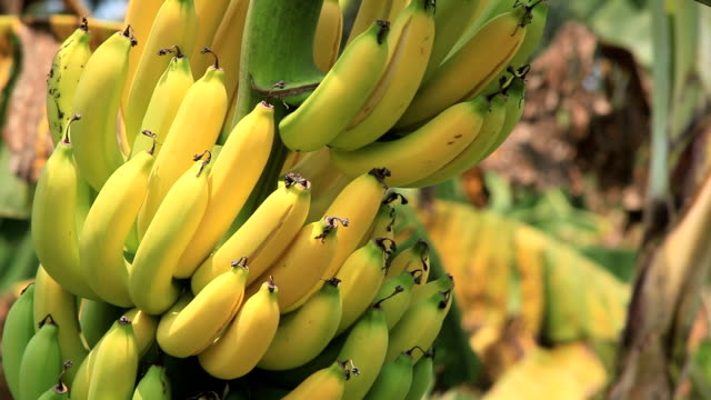 banana - tropical fruit stock videos & royalty-free footage
