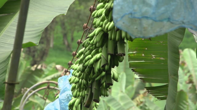bananas hanging from a rope in banana farm being transported for delivery.  - banana stock videos & royalty-free footage