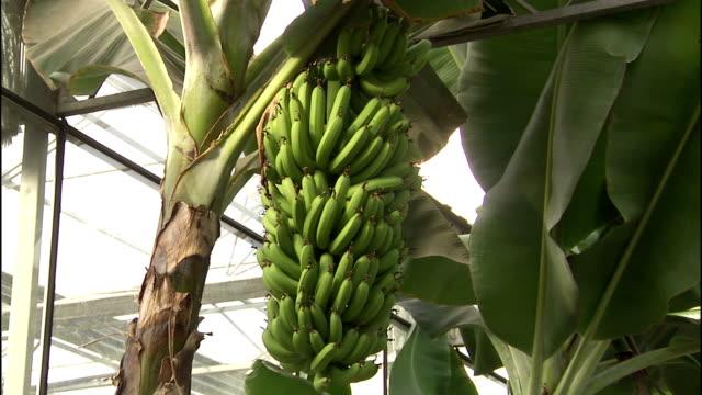 bananas ripen on a tree grown in a greenhouse. - バナナ点の映像素材/bロール