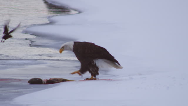 Band Eagle in snow by river calls then forces Magpies away from salmon carcase and starts eating