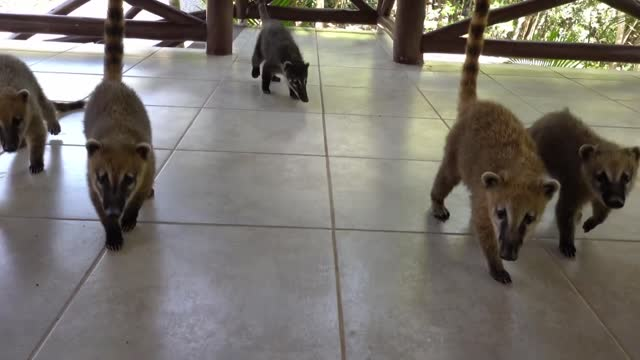 band of baby coatis were filmed playing on a terrace at a wildlife research and conservation centre in campina grande do sul, brazil. this footage,... - wildlife conservation stock videos & royalty-free footage