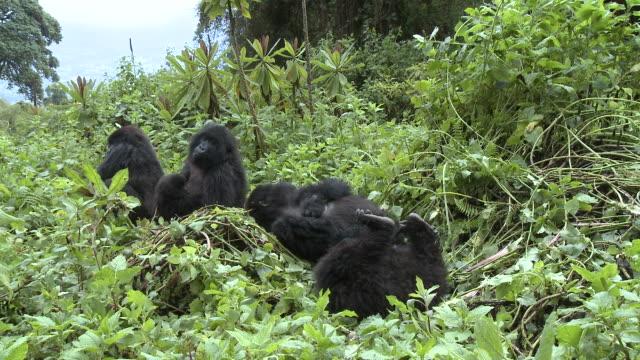 vídeos y material grabado en eventos de stock de band of gorillas on mountain - un animal