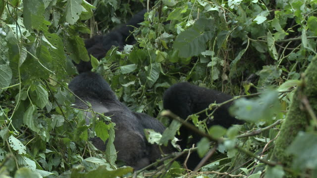 A band of gorillas rests amongst lush green leaves. Available in HD.