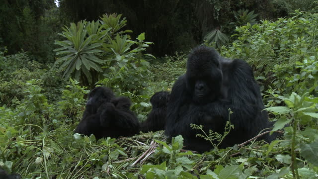 Band of gorillas with silverback