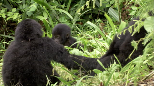 A band of mountain gorillas interacts in the jungle. Available in HD.