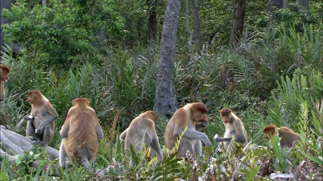 vídeos de stock, filmes e b-roll de a band of proboscis monkeys eats in a jungle clearing. - macaco