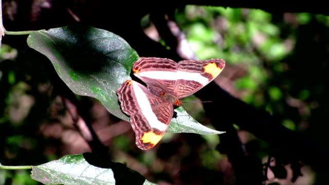vidéos et rushes de bande-celled soeur papillon - des papillons dans le ventre