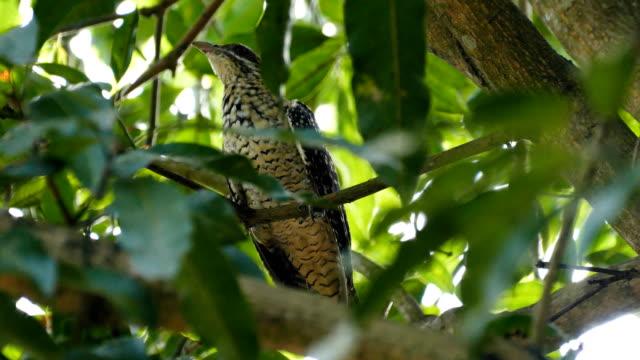 banded bay cuckoo bird - cuckoo stock videos and b-roll footage