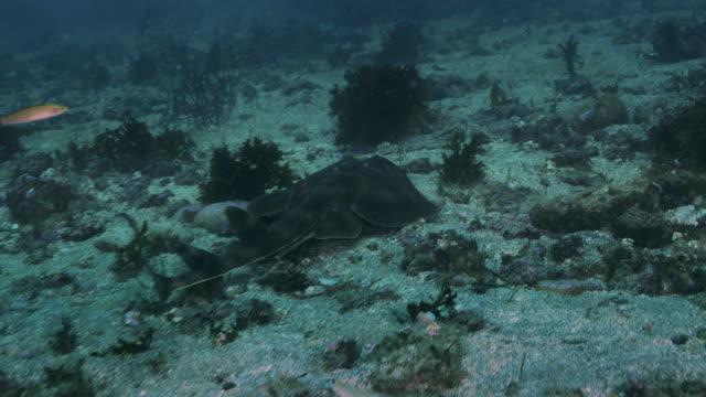 banded guitarfish - baja california norte stock videos & royalty-free footage
