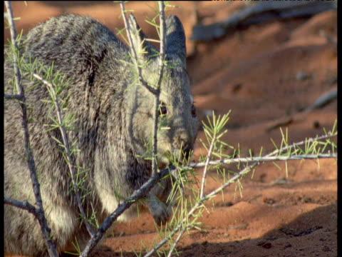 Banded Hare Wallaby grazes on spiny shrub, Shark Bay, Australia