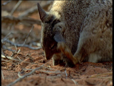 banded hare wallaby scratches and grooms, shark bay, australia - shark bay stock videos & royalty-free footage