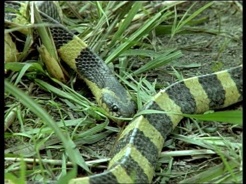 stockvideo's en b-roll-footage met cu banded krait snake, head and body, lying in grass, india - vachtpatroon