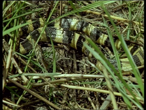 banded krait snake slithering slowly in green grass, camouflaged, india - animal markings stock videos & royalty-free footage
