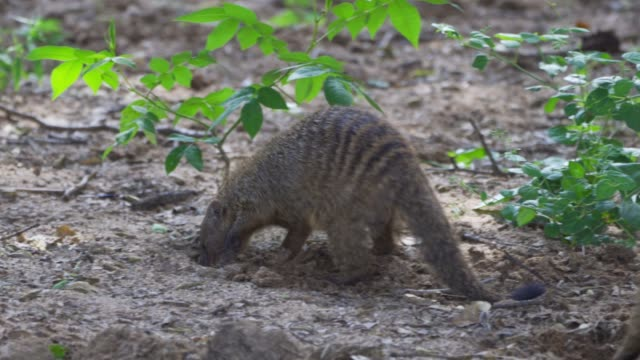 banded mongoose diging insects(mungos mungo) - eyal bartov stock videos and b-roll footage