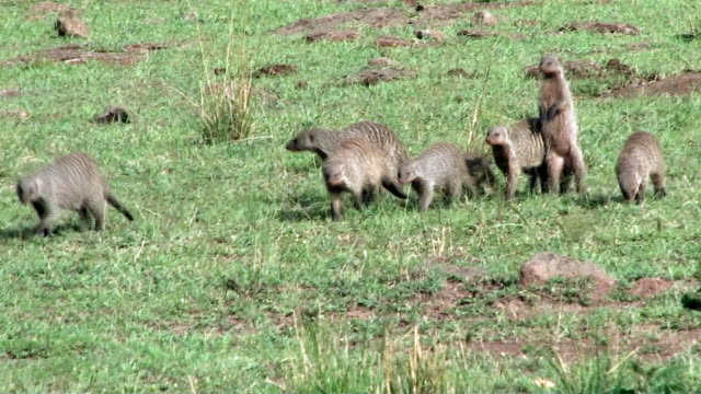 Banded Mongoose family on a run to the left