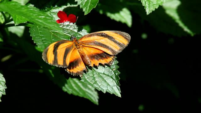 vídeos y material grabado en eventos de stock de banded orange butterfly - heliconia