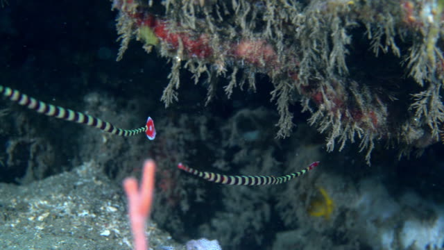 banded pipefish (doryrhamphus dactyliophorus) swimming while in camouflage (indonesia) - tarnung stock-videos und b-roll-filmmaterial