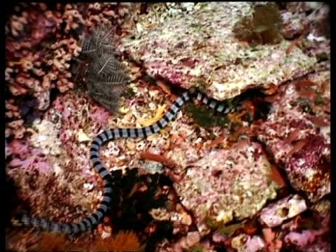vídeos y material grabado en eventos de stock de ms banded sea snake hunting in coral, blue and black stripes, komodo, indonesia - patrones de colores
