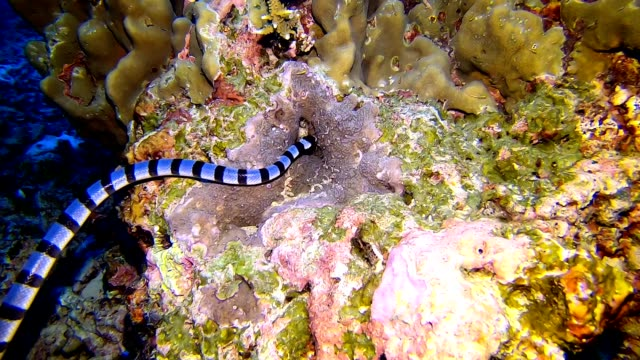 a banded sea snake (laticauda colubrina) swims over a reef in the tropical andaman sea - snake stock videos & royalty-free footage