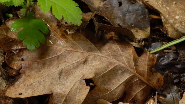 T/L Banded Snails and slug crawling over leaf litter, MCU, UK woodland