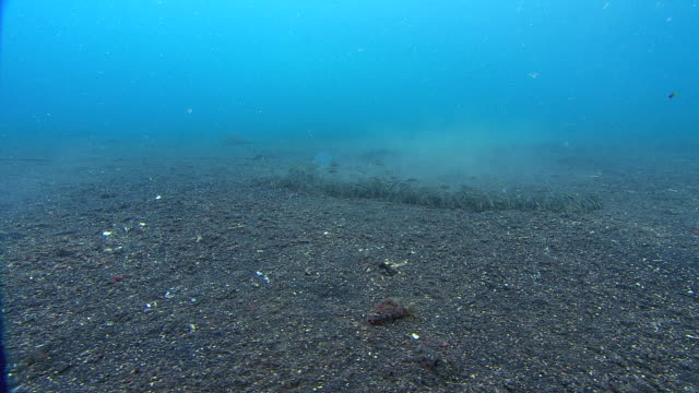 banded snake eel (myrichthys colubrinus) hunting over the seabed. this eel bears a striking resemblance to the venomous banded sea krait (laticauda colubrinus), no doubt gaining protection from the similarity - saltwater eel stock videos & royalty-free footage