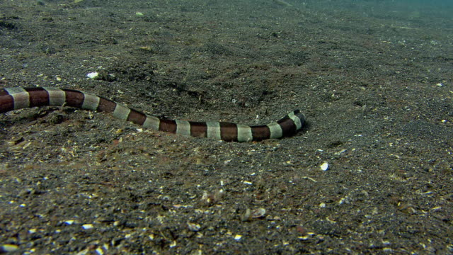 Banded snake eel (Myrichthys colubrinus) hunting over the seabed. This eel bears a striking resemblance to the venomous banded sea krait (Laticauda colubrinus), no doubt gaining protection from the similarity