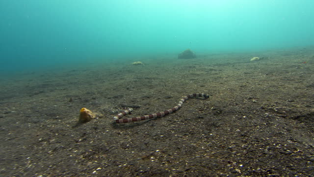 banded snake eel (myrichthys colubrinus) hunting over the seabed. - saltwater eel stock videos & royalty-free footage