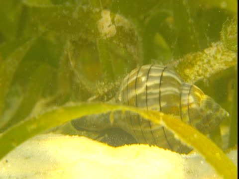 a banded tulip snail and french grunt forage on a sandy, weedy seabed. - animal shell stock videos & royalty-free footage