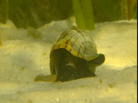 a banded tulip snail flips itself over as a tiny fish swims past. - animal shell stock videos & royalty-free footage
