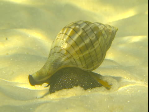 a banded tulip snail inches across a sandy seabed. - animal shell stock videos & royalty-free footage