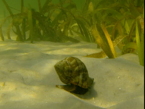a banded tulip snail inches along a sandy seabed. - animal shell stock videos & royalty-free footage