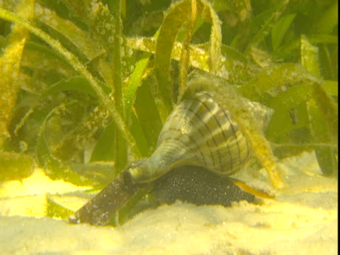 a banded tulip snail inches along a sandy, weedy seabed. - animal shell stock videos & royalty-free footage